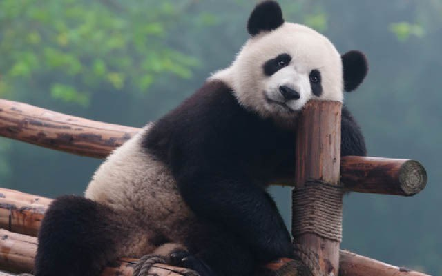 panda_piquen_by_shutterstock_2047