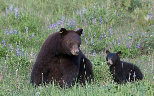 n-web_dispatches_mom_bear_by_michael_allen