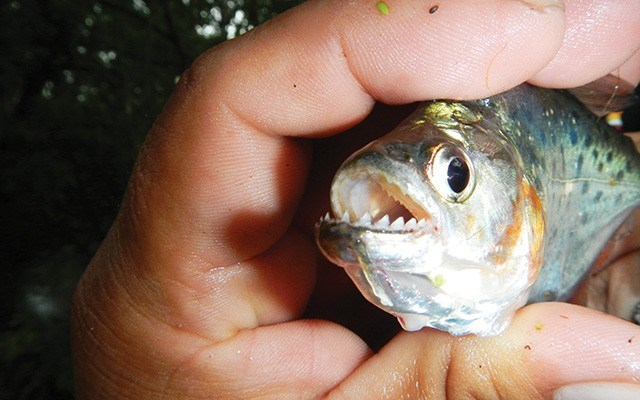 Piranha fishing in the high season. Photo  courtesy of Aqua Expeditions Guide