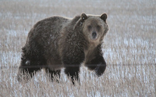 Moving out In the past decade Grizzly bears have moved out onto the Prairies of Southwest Alberta. photo courtesy of waterton biosphere reserve