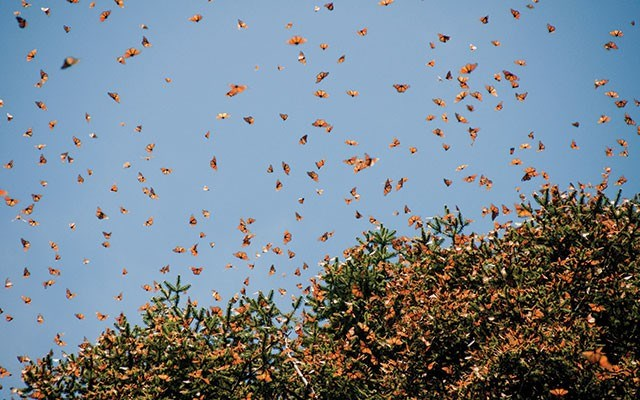 Millions, possibly a billion butterflies clump together in the same small patch of forest to wait out the winter. shutterstock.com