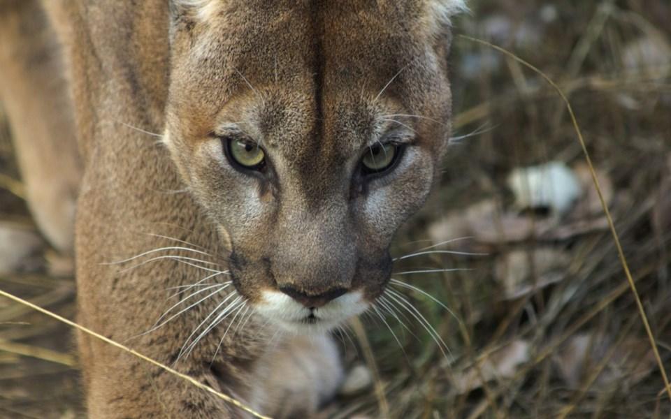 n-cougar-web-2629-shutterstock