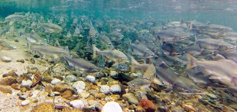 salmon-follo