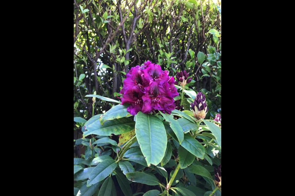 Rhododendrons actually thrived in the hot and dry weather.