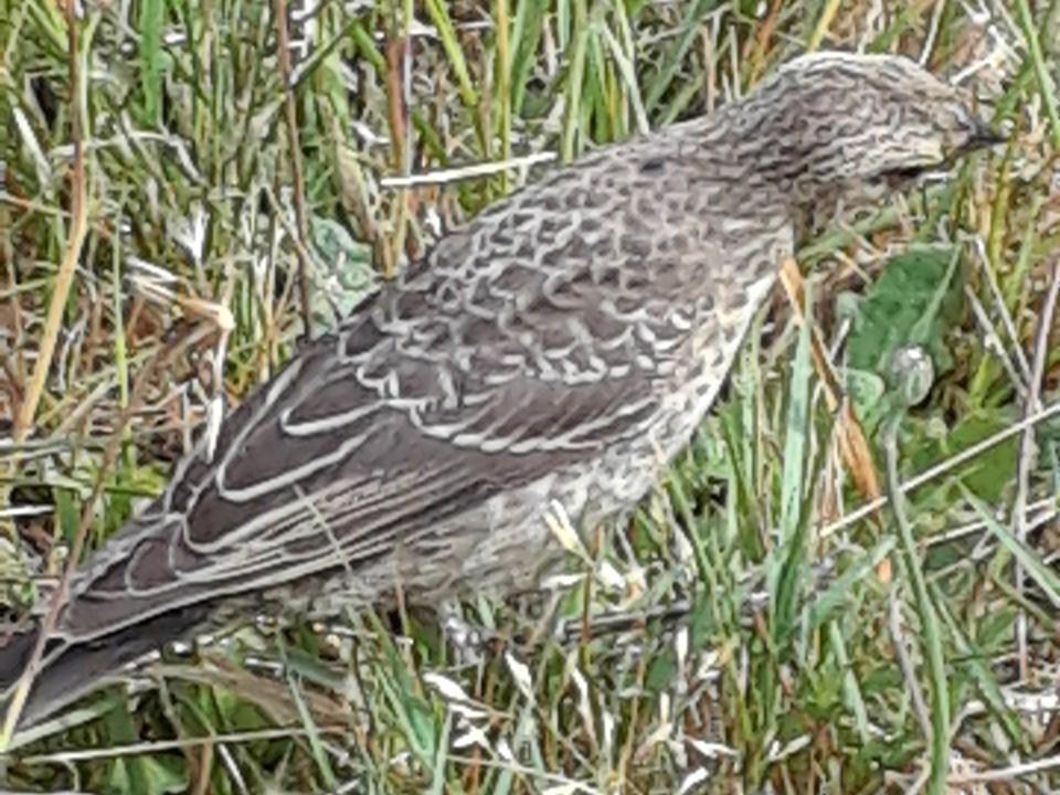 2651_prowls_cowbird