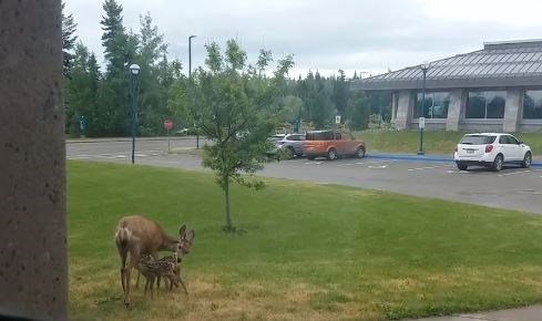 "June the ""rockstar"" deer and mother, feeds her two unnamed fawns at the UNBC campus this week."