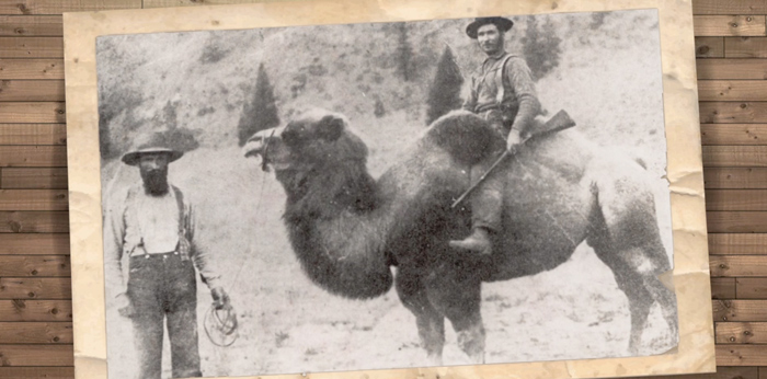 Historical oddity: Camels played role in B.C. gold rush