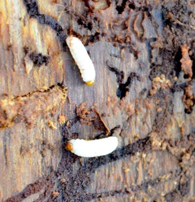 spruce-beetles