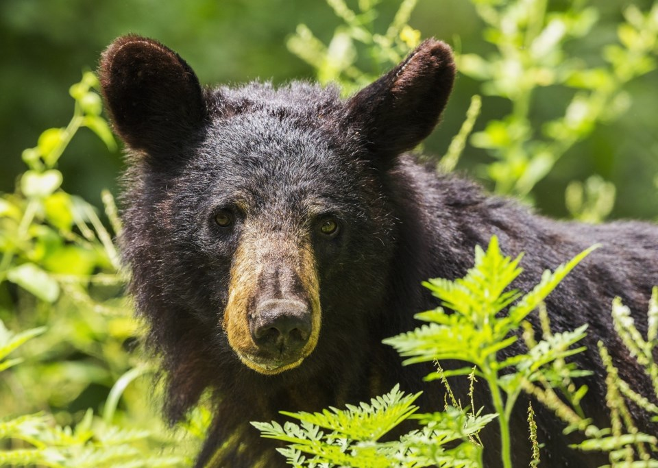 black-bear-1611349_1920