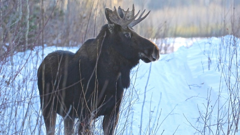 Bull moose - UNBC Prince George Airport