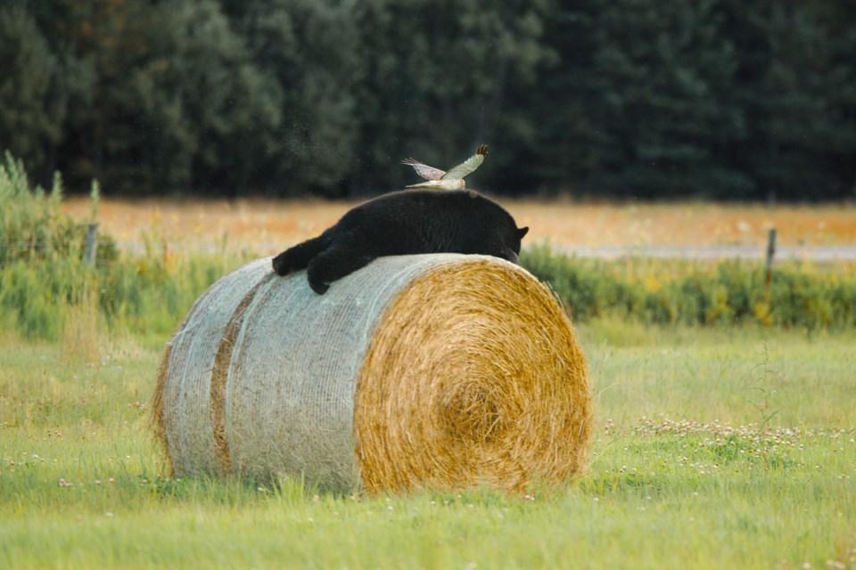 09 Serge Wolf pic northern harrier on black bear