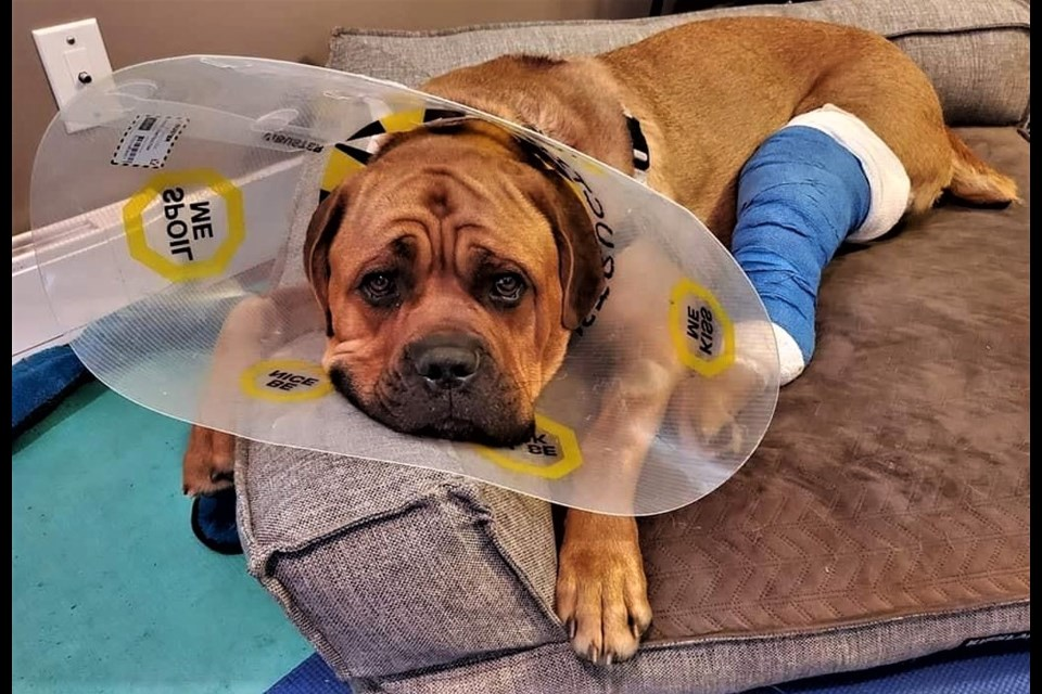 Major, a three-year-old bullmastiff surrendered to the Prince George Humane Society in February 2020, recovers from his knee surgery last summer. He's since found a new home in Alberta.