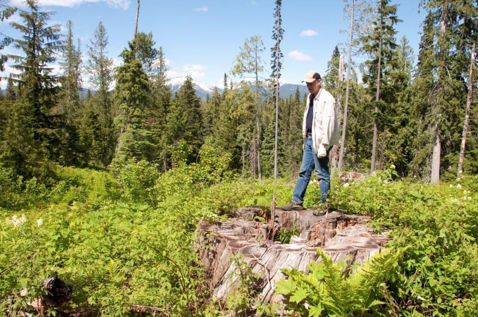 Ancient-cedar-stand-logging