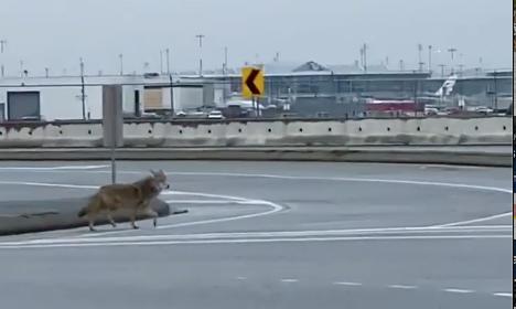 coyote cross the street