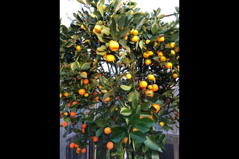 The calamondin orange tree symbolizes an abundant year. Photo submitted