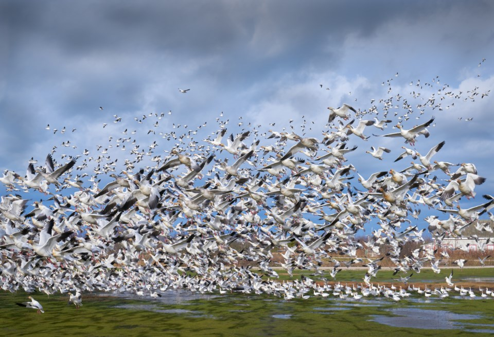 Snow geese garry point park