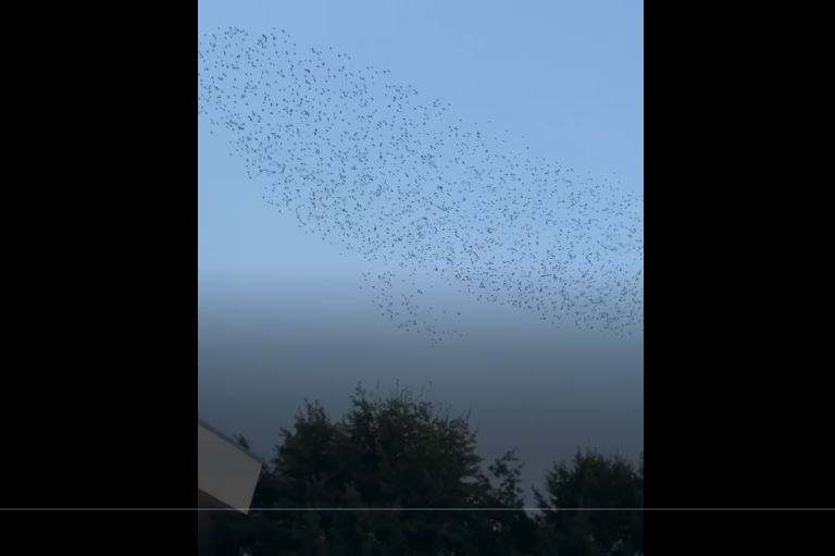 A Richmond News reader captured this lovely video of a large flock of birds swooping in the city centre on the weekend.