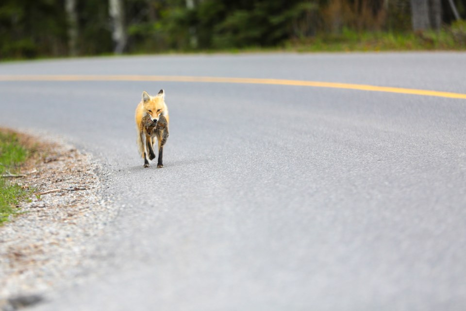 A fox trots along Lake Minnewanka Scenic Drive with a Columbian ground squirrel in its jaws on Thursday, June 4, 2020. EVAN BUHLER RMO PHOTO⁠
