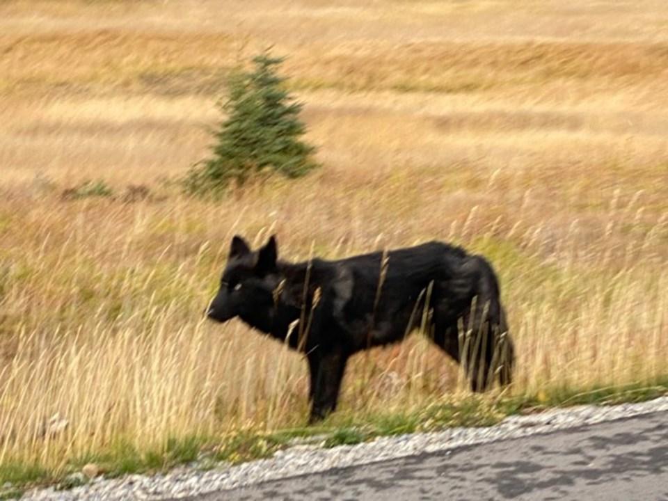 Wolf Pup Injured_D.Laskin