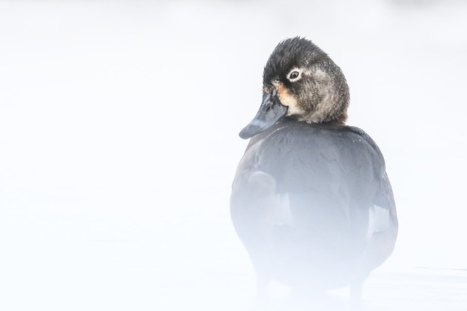 Ring-necked duck. ETHAN DENTON PHOTO