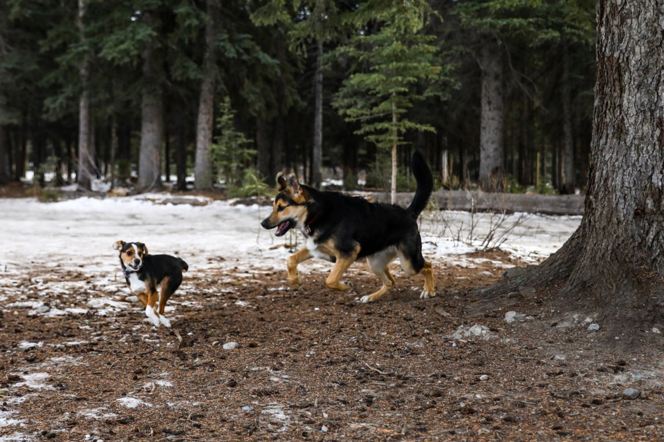 Two dogs play in the Banff off-leash dog park cautions pet owners about uncovered glass and metal being uncovered on Tuesday (Jan. 19). A sign at the Banff off-leash dog park cautions pet owners about uncovered glass and metal being uncovered. EVAN BUHLER RMO PHOTO