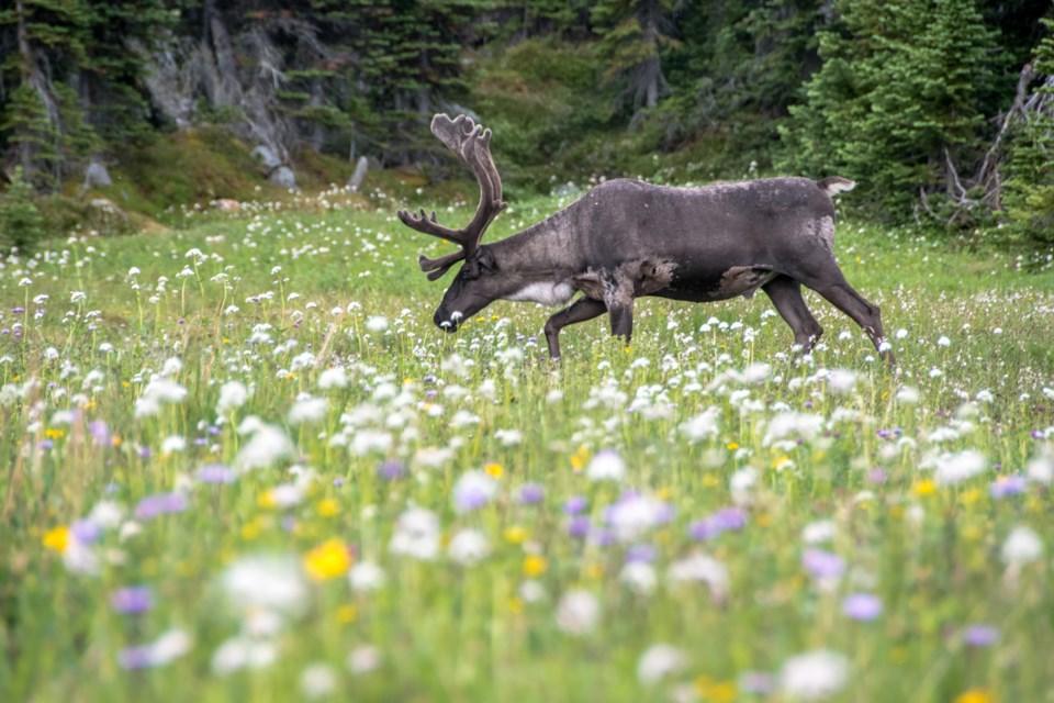 A caribou in Jasper National Park. Lalenia Neufeld Parks Canada Photo