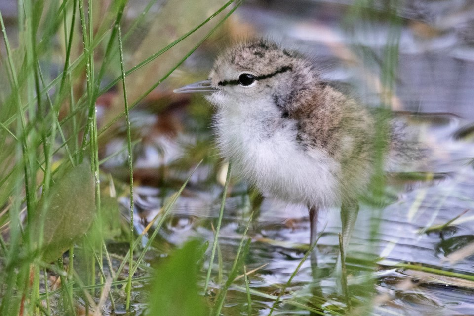 0617 Spotted Sandpiper young