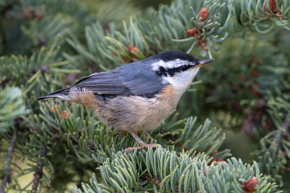 0624Red-breasted Nuthatch juvenile