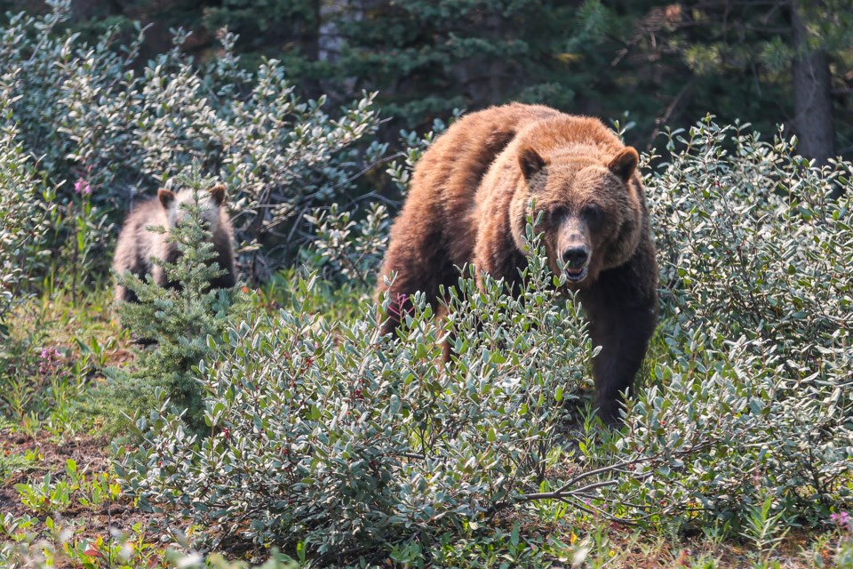 A mother grizzly bear feast on buffaloberries, while her three cubs play in the bushes along the side of Smith Dorrien Trail in Spray Valley Provincial Park on Monday (July 26). EVAN BUHLER RMO PHOTO