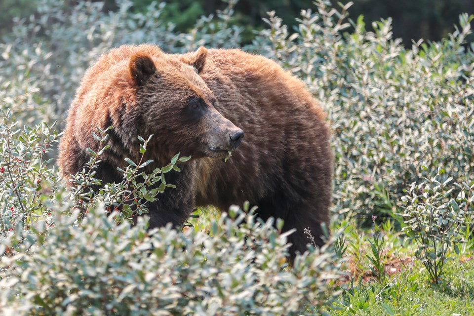 20210726 Grizzly Bear 0197