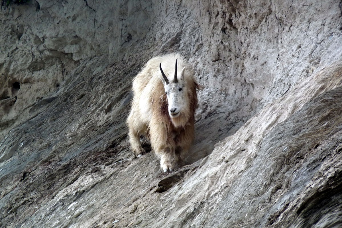 Mountain goat kills attacking grizzly bear