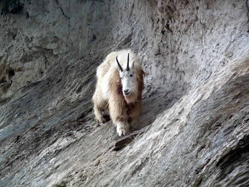 Mountain Goats KNP-Wardle-SMorgan-cPCA-2012-06-18 (3)