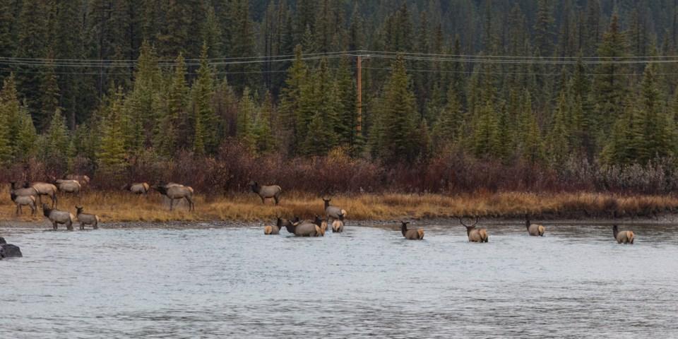 20161028 Bow River Elk 0001