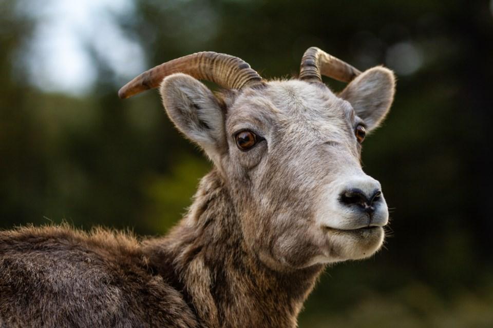 20191031 Bighorn Sheep 0049