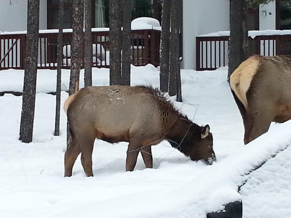 2020-01-08 Elk Entanglement Banff Centre IEM-0026 (7)(2)