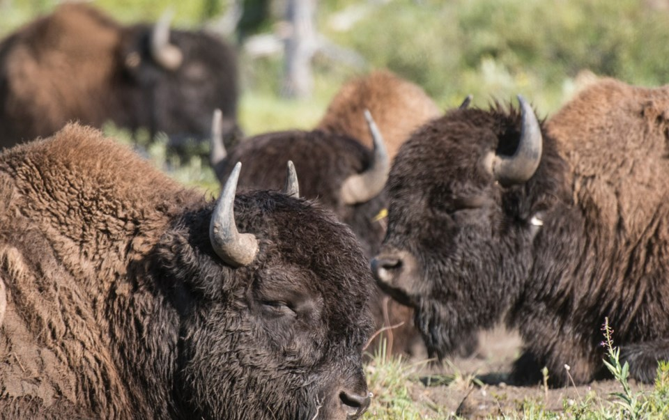 31 Bison Parks Canada