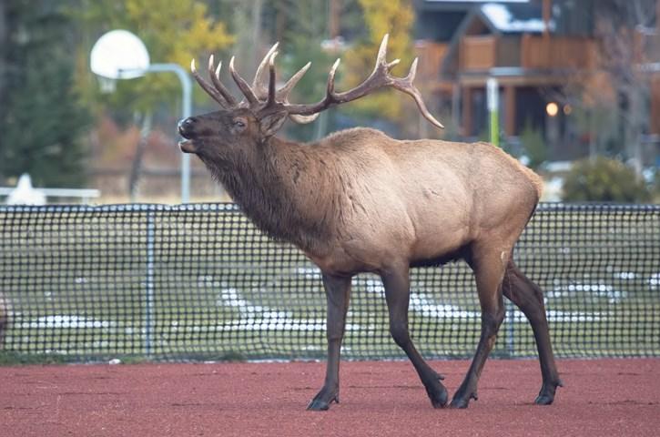 40 Bull Elk 0002