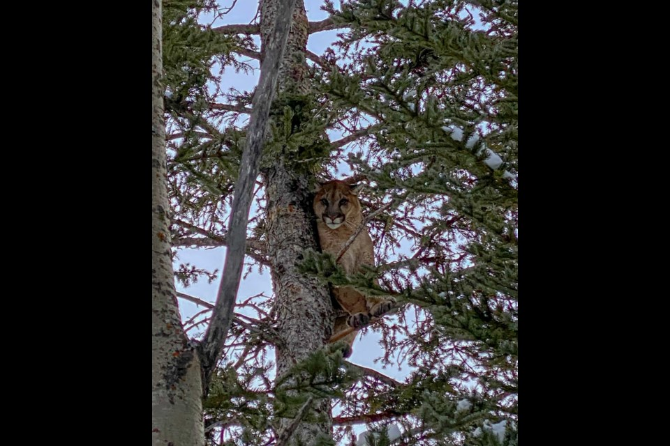 A cougar stuck in a tree at the Yamnuska Wolfdog Sanctuary on Thursday (Nov. 21).