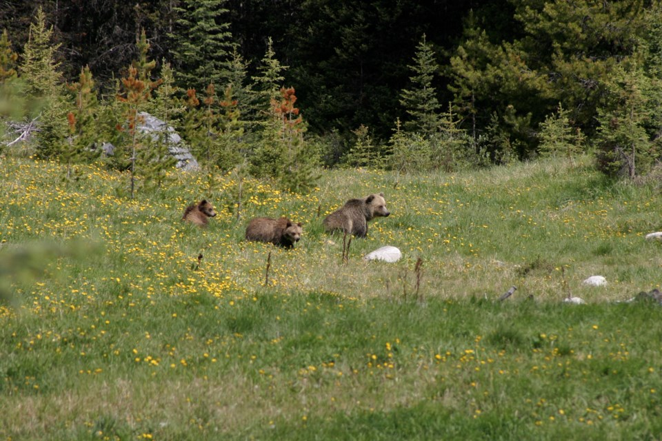 bear 142 and yearlings Sonia Nicholl