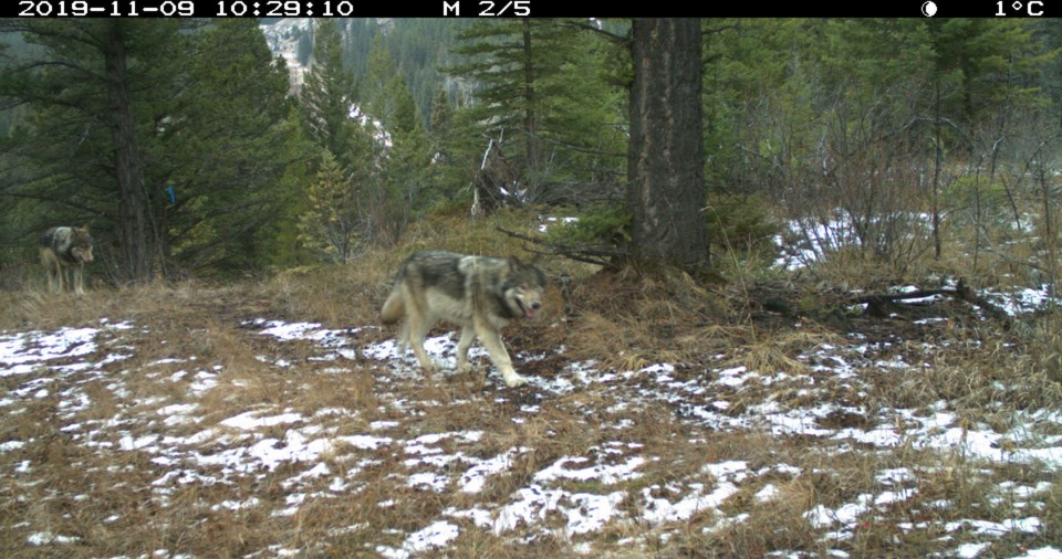 Bow Valley wolves PC credit