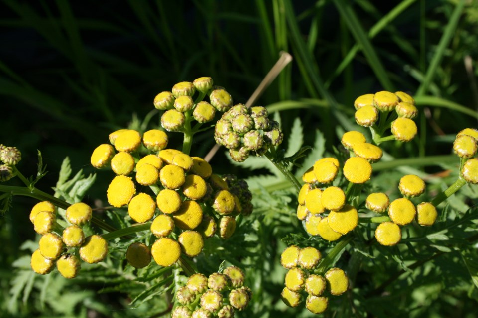 Common tansy: This plant with yellow, button-like flowers can grow as tall as 1.5 metres. It was introduced to North America from Europe in the 1600s as a horticultural and medicinal plant. It impacts stream banks and native grasslands and outcompetes native plants. It also produces a toxic compound that can impact cattle and wildlife. SUBMITTED IMAGE