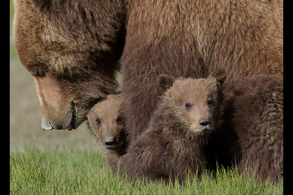 Longtime bear specialist Reno Sommerhalder says by placing three orphaned grizzly cubs in the Calgary Zoo after their mother was killed, Alberta has lost four animals from the population for the species, which is considered threatened in the province. RENO SOMMERHALDER PHOTO