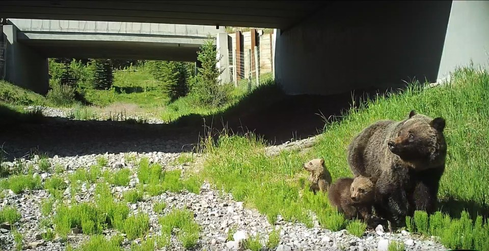 Grizzly underpass