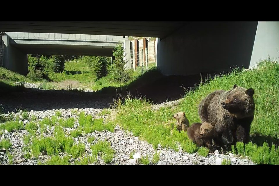 A grizzly bear with cubs is seen travelling through a wildlife underpass under the Trans-Canada Highway near Dead Man's Flats. The land shares borders with the MD of Bighorn and Town of Canmore. AEP PHOTO