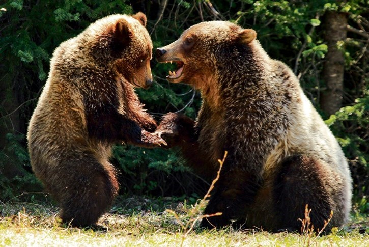 A female grizzly bear with a cub. RMO FILE PHOTO