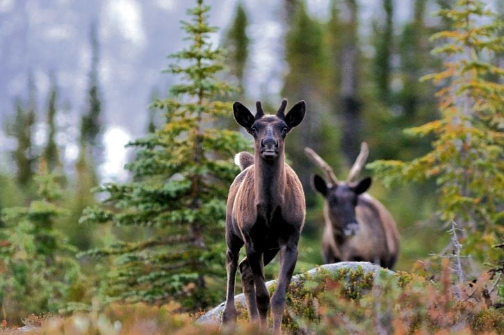 Beyond Local: Jasper caribou herd wiped out of existence