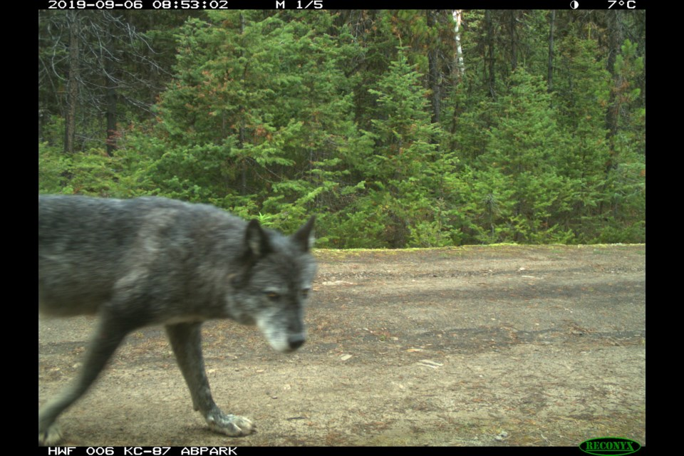 A wolf caught on a trail cam in Kananaskis Country in 2019. ALBERTA PARKS PHOTO