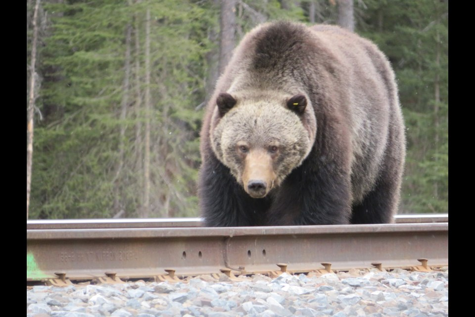 Grizzly bear No. 136, nicknamed Split Lip for his disfigured mouth, is seen along the CP Rail track in Banff National Park. PARKS CANADA PHOTO
