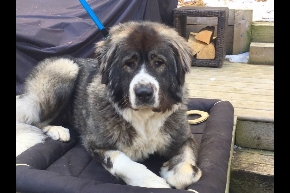 Leeza – a one-and-a-half-year-old St. Bernard, great Pyrenees, Akita cross – has been missing from Calgary since Dec. 30. SUBMITTED IMAGE