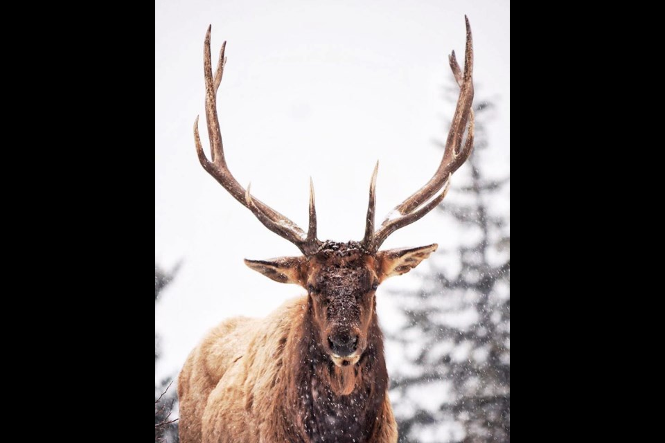 A bull elk in Canmore that became affectionately known as Marvin has passed away. LISA YOUNG PHOTO